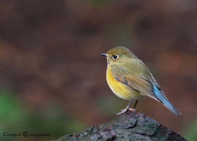 young-Red-flanked-Bluetail-bird
