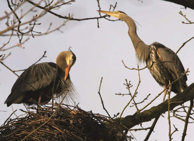 Herons in a tree Photo by Ward Perrin, The Vancouver Sun