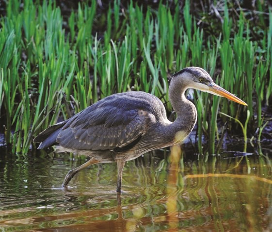 A young heron looks for food. Photo by Lez Bazso, The Province