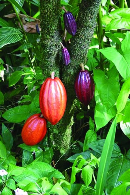 A cacao fruit tree Photo: Public domain
