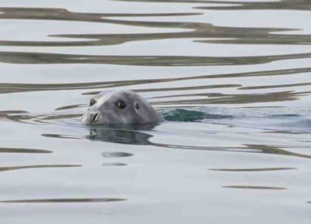Bearded seal Photo: Last First Expedition, Kevin Vallely, submitted to The Vancouver Sun