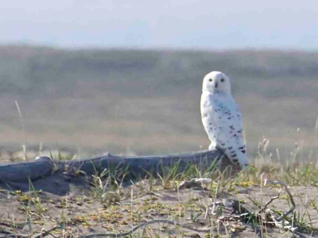 Snowy owl Photo: Last First Expedition, Kevin Vallely, submitted to The Vancouver Sun
