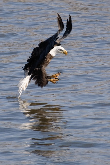Bald Eagle Photo: Wes Gibson, Creative Commons, Flickr