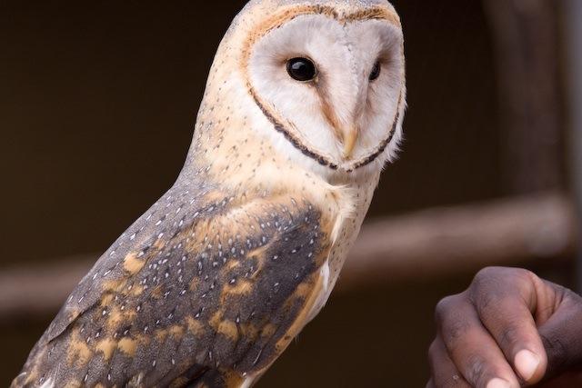 Barn owl Photo: heza, Creative Commons, Flickr