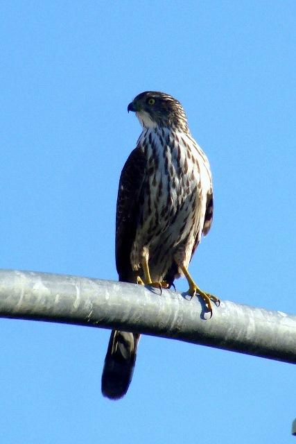 Hawk Photo: Dawn Ellner, Creative Commons, Flickr
