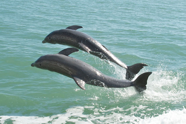 Dolphins can remember special whistles for more than 20 years. Photo: PMARKHAM / CC, FLICKR