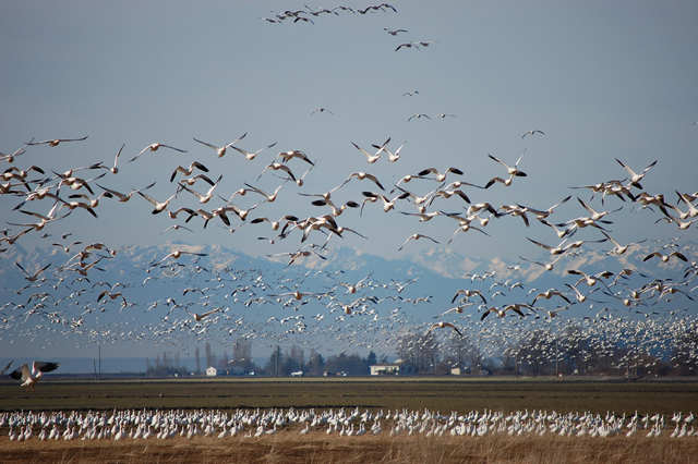 Snow geese fly in large groups PHOTO — MIZMAK / CC, FLICKR