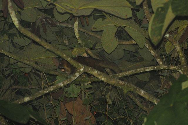 The little olinguito lives in the trees. PHOTO — CAMILO MARMOL –GUIJARRO/ CC, FLICKR