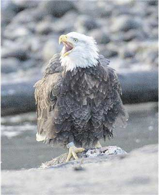 A bald eagle sits near the Squamish River. PHOTO - ARLEN REDEKOP, PNG, THE PROVINCE