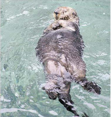 Walter swims on his back at the Vancouver Aquarium. (Photo: Jenelle Schneider / PNG)
