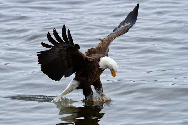 A bald eagle catches a fish. PHOTO – W4ND31OST / CC, FLICKR