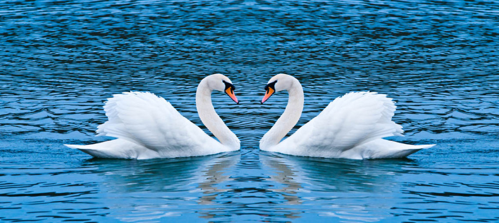 Swans are a symbol of romance. PHOTO: SERGIU BACIOIU / CC, FLICKR