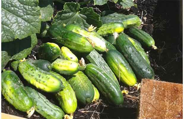 Cucumbers are grown for pickling. Photo: Mike Schneider