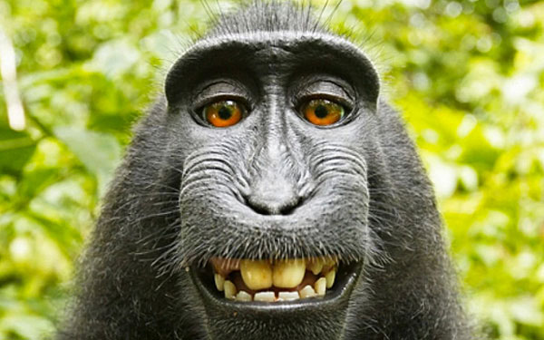A monkey grabbed a camera from a photographer and took this selfie./WIKIMEDIA