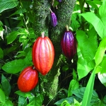 A cacao fruit tree  (Photo – Public Domain)