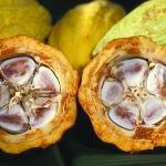 Cacao beans (Photo – Public Domain)