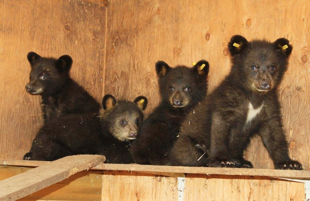 orphaned-bear-cubs-british columbia-smithers