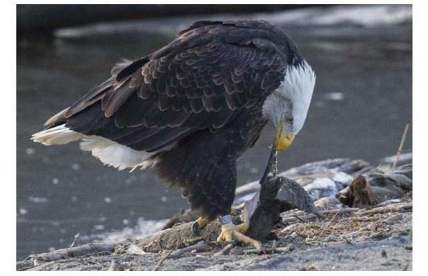 Eagles feed on salmon. Photo by Arlen Redekop/The Province