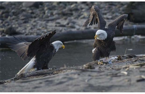 Two bald eagles Photo by Arlen Redekop/The Province