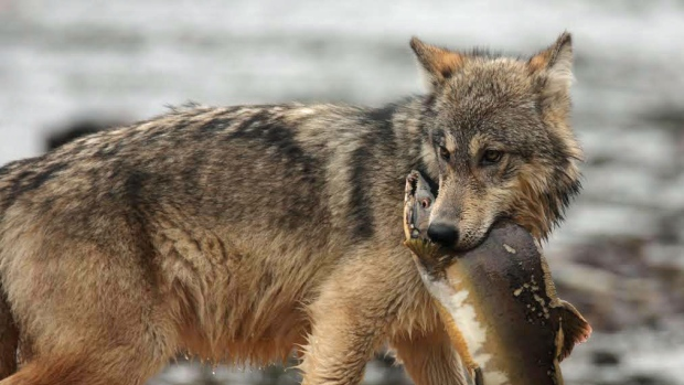 bc-islands-fish-eating-gray-wolves