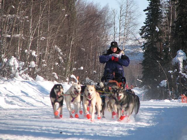the-Iditarod-dog-sleds