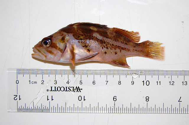 A yellowtail rockfish like this one also had the operation. Photo by jmandecki/CC, Flickr