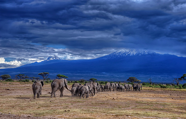 Elephants go back to the foothills of Mt. Kilimanjaro/ https://flic.kr/p/pzFnmb/ Photo by Diana Robinson/CC, Flickr