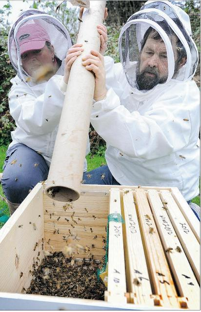 Jeff Lee and wife Amanda shake new honey bees into a hive from a pipe. Photo by Mark van Manen/The Vancouver Sun