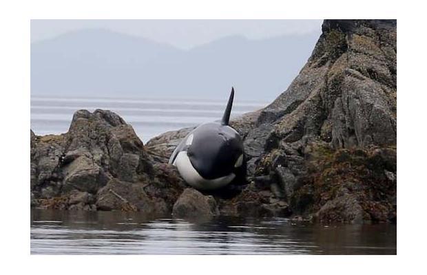 killer-whale-stuck-on-rocks