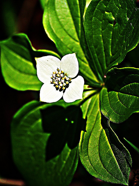 A dogwood flower Photo by Bruce McKay/CC, Flickr