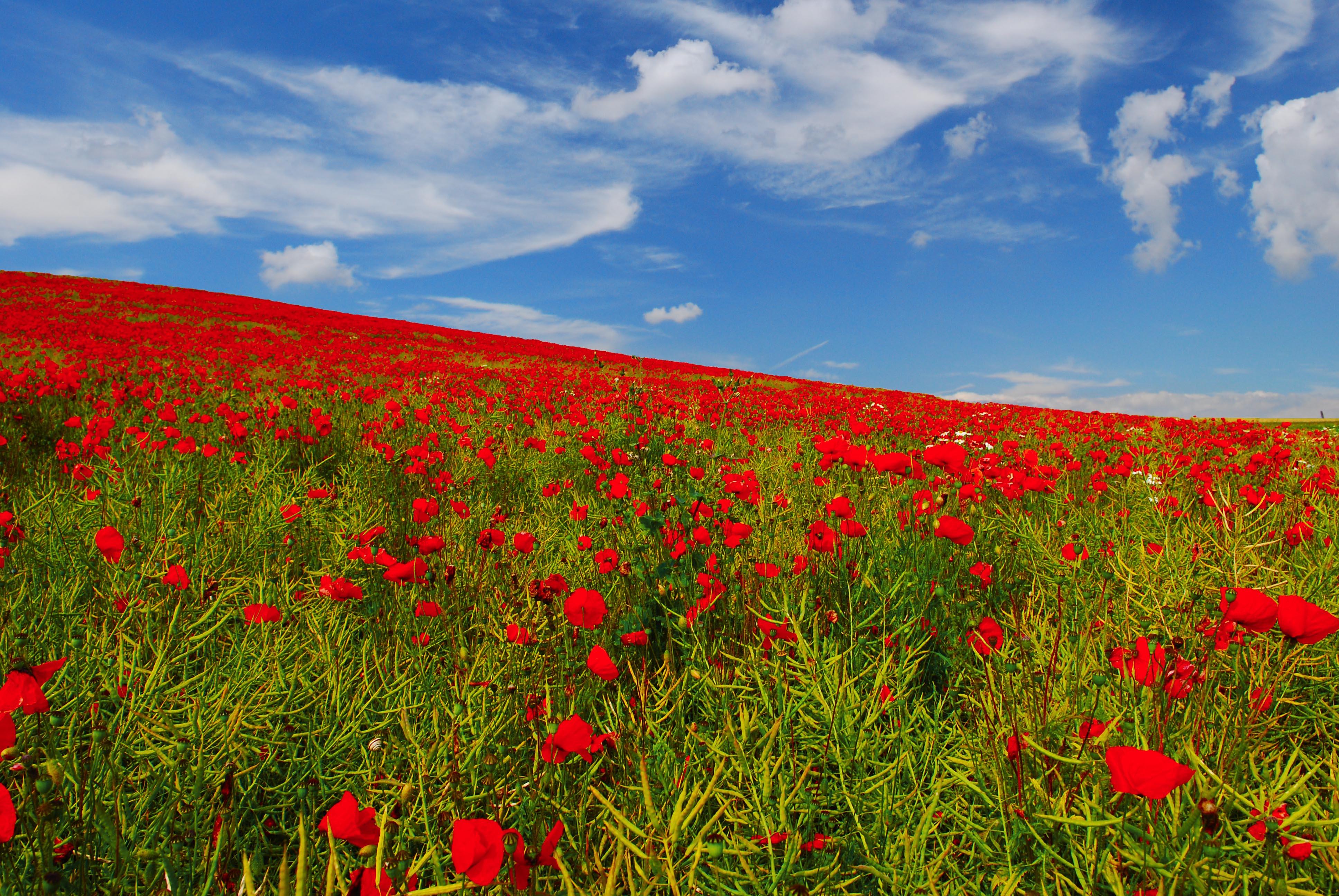 Field of poppies (Le champ de coquelicots) Photo: Vincent Brassine/CC, Flickr