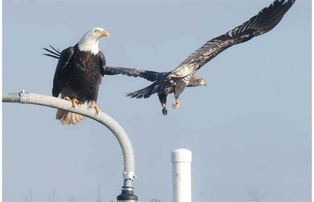 PHOTO - NICK PROCAYLO/THE VANCOUVER SUN Eagles perch on anything that sticks out of the ground.