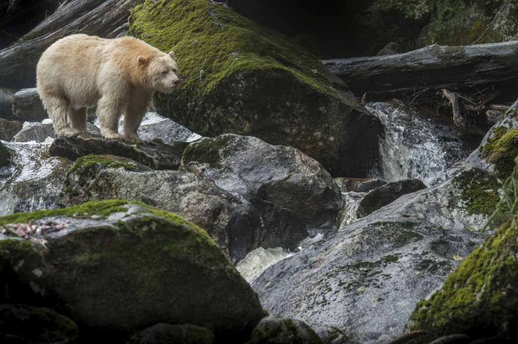 PHOTO - ISTOCK A kermode or spirit bear is fishing in the stream.