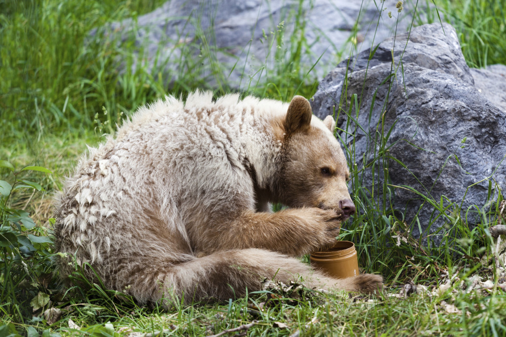 PHOTO: ISTOCK The spirit bear likes honey.