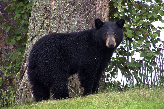 PHOTO - PIXABAY.COM a black bear