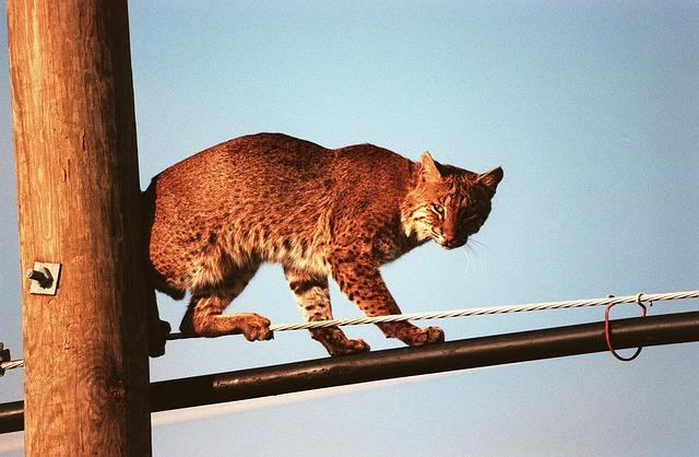 PHOTO - PIXABAY.COM a bobcat