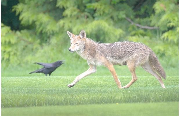 PHOTO - PIXABAY.COM a coyote