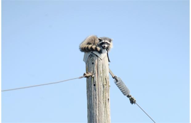 PHOTO - PIXABAY.COM a raccoon