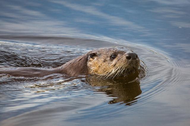 PHOTO - PIXABAY.COM a river otter