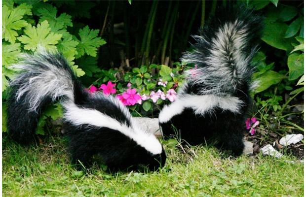 PHOTO - PIXABAY.COM skunks