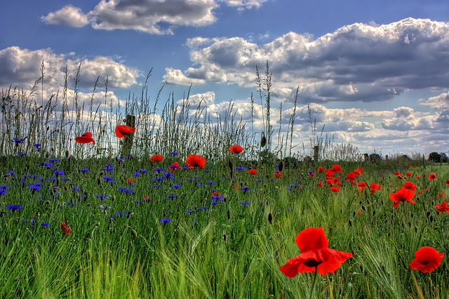 In Flanders Fields the poppies blow ... Photo by Pixabay