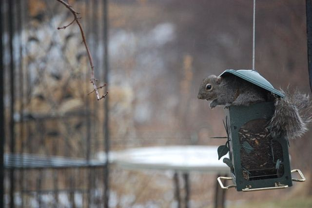Squirrel eats from a bird feeder. Photo by Grimmcar, Wikimedia Commons
