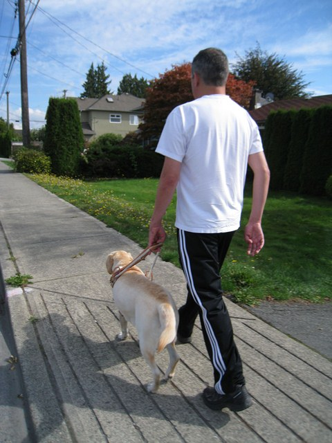 A guide dog helps a visually-impaired person find curbs, doors, stairs, and other landmarks. Photo courtesy of B.C. Guide Dog Services.